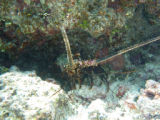 Lobster at Tern Island