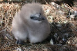 Downy Red-tailed Tropicbird Chick