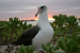 Laysan Albatross at Sunset