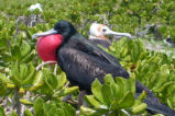 Male Frigatebird in Display