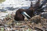 Brown Booby on Nest