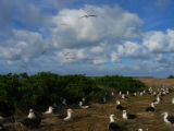 Albatross Nesting at Midway Atoll National Wildlife Refuge