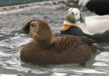 Spectacled Eider Female and Male