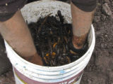 Bucket of Newts to be Relocated