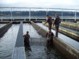 Service Hatchery Staff 'Crowd' Juvenile Salmon Out of a Raceway