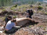 Tribal Biologist Monitor Elk's Health Before Release