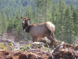 Elk with Monitoring Collar