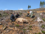 Elk Being Collared with GPS a Tracking Device