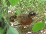 Laysan Duck Hen with Four Ducklings