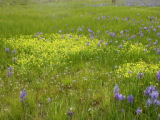 North Prairie Camas and Buttercup