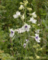 Peacock Larkspur