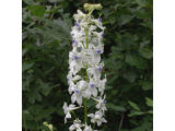 Pale Larkspur