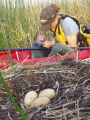 Collecting data on a swan nest