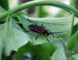 Valley Elderberry Longhorn Beetle