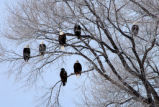 Bald Eagles Roost