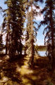 Boreal forest at Scoter Lake