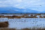Pintails in the Lower Klamath National Wildlife Refuge