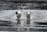 Clark's Grebes (rushing)