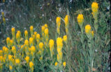 Golden Paintbrush (CALE) found on Ebey's Bluff, located at the Robert Y. Pratt Preserve,...