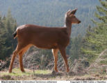 Black-Tailed Deer (Doe)