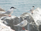 Three Roseate Terns