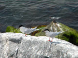 Two Roseate Terns