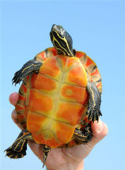 Northern Red-bellied Cooter