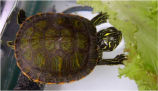 Northern Red-Bellied cooter hatchling
