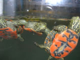 Northern Red-Bellied cooter hatchlings