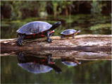 Red-Bellied Cooter and Painted Turtle