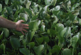 Water Hyacinth Leaves