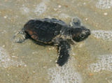 Baby loggerhead heading towards ocean