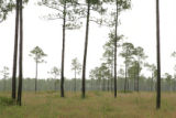 Wet pine savanna