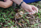 Mississippi Sandhill Crane recovery work