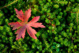Red leaf stands out against a mat of green