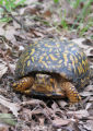 Box turtle posing for the camera