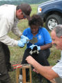 Forsythe intern and employees teaching a volunteer how to band a Canada goose