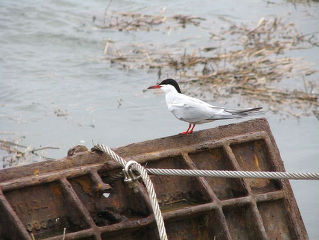 Forster's tern sitting on impoundment