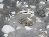 Newly hatched piping plover chicks