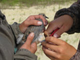 Forsythe interns Mourning Dove banding