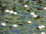 Water lilies on the Edwin B. Forsythe National Wildlife Refuge Wildlife Drive
