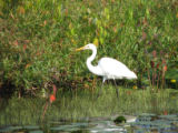 Great Egret on the Wildlife Drive at Edwin B. Forsythe NWR