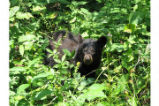 Bear cub on Skyline Drive
