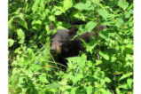 Bear cub at Shenandoah National Park