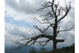 Lone tree on the overlook at Shenandoah National Park