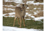 Fawn in the snow at NCTC