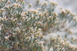 clay-loving wild buckwheat