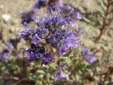 North Park phacelia flowers