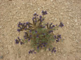 North Park phacelia plant
