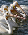 Close-up view of a group of American White Pelican